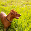 Brown Dog mini pinscher in a green meadow - Stock Photo