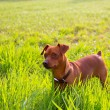 Brown Dog mini pinscher in a green meadow — Stock Photo