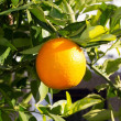 Fruit of orange tree hanging ripe in Mediterranean - Stock Photo