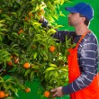 Tangerine orange farmer collecting man - Photo