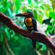 Stock Photo: Collared Aracari Agarrado Pteroglossus torquatus toucan