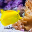 Yellow tang fish Zebrasoma flavesenes — Stock Photo