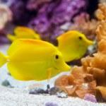 ������, ������: Yellow tang fish Zebrasoma flavesenes