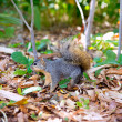 Eastern Gray Squirrel Sciurus carolinensis on park — Foto Stock