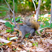 Eastern Gray Squirrel Sciurus carolinensis on park — Stock Photo