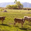 Cows cattle grazing in California meadows — Stock Photo #31342903