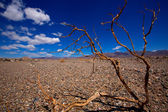 Death Valley National Park California dried branches — Stock Photo