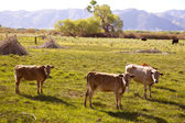 Cows cattle grazing in California meadows — Stock Photo