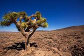 Death Valley joshua tree yucca plant — Stock Photo
