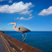 Blue Heron Ardea cinerea in Newport pier California — Stock Photo