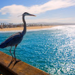 Blue Heron Ardecinerein Newport pier California — Stock Photo #32018303