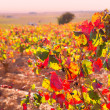 Autumn golden red vineyards in Utiel Requena — Stock Photo