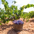 Bobal harvesting with wine grapes harvest — Stock Photo #34390861