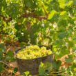 图库照片: Chardonnay harvesting with wine grapes harvest