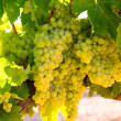 ストック写真: Chardonnay Wine grapes in vineyard raw ready for harvest