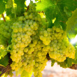 Chardonnay Wine grapes in vineyard raw ready for harvest — Stock Photo #34398431