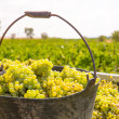 Chardonnay harvesting with wine grapes harvest — Foto Stock
