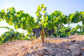 Bobal Wine grapes in vineyard raw ready for harvest — Stock Photo