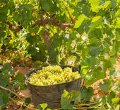Chardonnay harvesting with wine grapes harvest — Photo