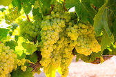 Chardonnay Wine grapes in vineyard raw ready for harvest — 图库照片