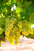 Chardonnay Wine grapes in vineyard raw ready for harvest — ストック写真