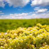 Chardonnay harvesting with wine grapes harvest — Stock fotografie