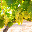 Foto de Stock  : Chardonnay Wine grapes in vineyard raw ready for harvest