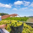 Stock Photo: Chardonnay harvesting with wine grapes harvest