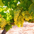 Chardonnay Wine grapes in vineyard raw ready for harvest — Стоковая фотография