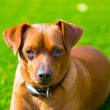 Stock Photo: Mini pinscher brown dog portrait laying in lawn