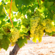 Chardonnay Wine grapes in vineyard raw ready for harvest — Stok fotoğraf