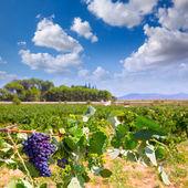 Bobal şarap üzüm hasat yılında akdeniz için hazır — Stok fotoğraf