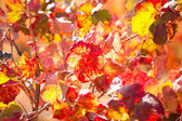 Autumn colorful golden red vineyard leaves — Stock Photo