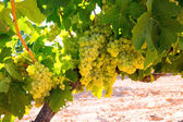 Chardonnay Wine grapes in vineyard raw ready for harvest — Zdjęcie stockowe