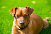 Mini pinscher brown dog portrait laying in lawn — Stock Photo