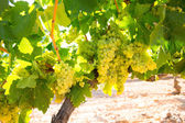 Chardonnay Wine grapes in vineyard raw ready for harvest — Stockfoto