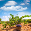 Bobal harvesting with wine grapes harvest — Stock Photo
