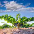 Bobal Wine grapes in vineyard raw ready for harvest — Stock Photo #34410715