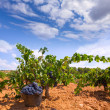 Bobal harvesting with wine grapes harvest — Stock Photo #34411069