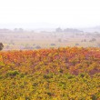 Autumn golden red vineyards sunset in Utiel Requena — Stock Photo