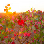 Autumn golden red vineyards sunset in Utiel Requena — Stock Photo #34413833
