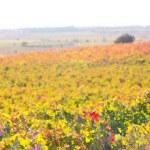 Autumn golden red vineyards sunset in Utiel Requena — Stock Photo #34414245