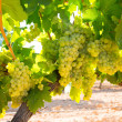 Chardonnay Wine grapes in vineyard raw ready for harvest — Foto de stock #34414951