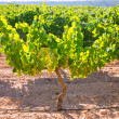 Foto Stock: Chardonnay Wine grapes in vineyard raw ready for harvest