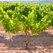 Chardonnay Wine grapes in vineyard raw ready for harvest — Foto Stock #34417483