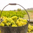 Chardonnay harvesting with wine grapes harvest — 图库照片