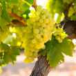 Chardonnay Wine grapes in vineyard raw ready for harvest — Foto Stock