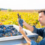 Mediterranean vineyard farmer harvest cabernet sauvignon — Stock Photo