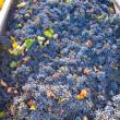 Mediterranean vineyard harvest   cabernet sauvignon grape field — Stock Photo