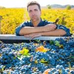 Mediterranean vineyard farmer harvest cabernet sauvignon — Stock Photo #34418993